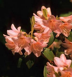 Belgische Azalee Freya 30-40cm - Rhododendron rustica - Vorschau