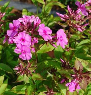 Große Garten-Flammenblume Pink Star - großer Topf - Phlox paniculata - Vorschau