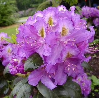 Großblumige Rhododendron Effner 40-50cm - Alpenrose - Vorschau