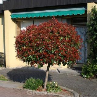 Hochstamm Glanzmispel Red Robin 100-125cm - Photinia fraseri - Vorschau