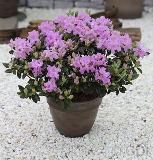 Zwerg Rhododendron Lavendula 20-25cm - Rhododendron saluenense - Zwerg Alpenrose - Vorschau