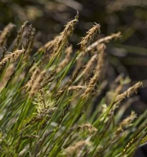 Davalls Segge - Carex davalliana - Vorschau