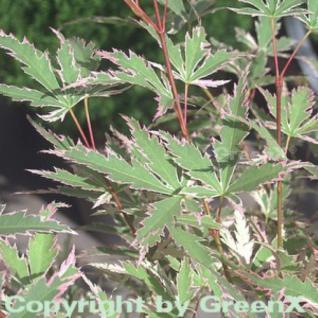 Fächerahorn Butterfly 80-100cm - Acer palmatum - Vorschau