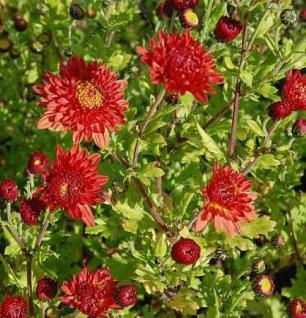 Winteraster Rumpelstilzchen - Chrysanthemum Indicum - Vorschau