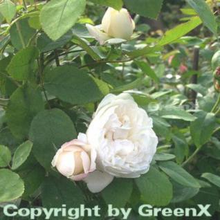 Englische Rose Winchester Cathedral® 30-60cm - Vorschau