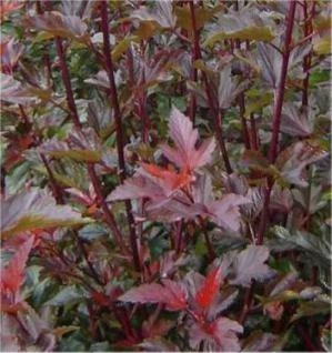 Blasenspiere Lady in Red 100-125cm - Physocarpus opulifolius - Vorschau