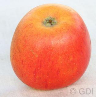 Apfelbaum Goldparmänel 60-80cm - edel und fest - Vorschau