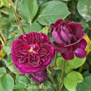 Englische Rose Falstaff 30-60cm - Vorschau