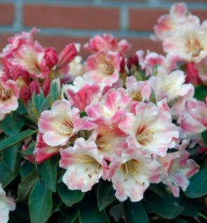 Großblumige Rhododendron Gerstenkorn 40-50cm - Alpenrose - Vorschau