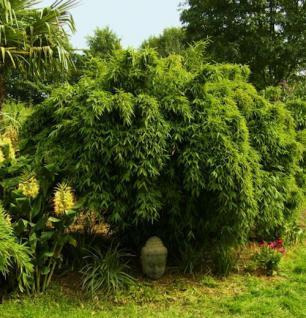 Gartenbambus Osako® 40-60cm - Fargesia murielae - Vorschau
