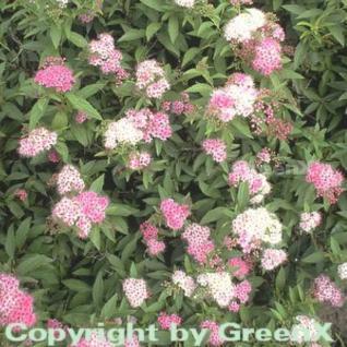 Zwergspiere Shirobana 40-60cm - Spiraea japonica - Vorschau