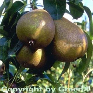 Birne Madame Verte 60-80cm - saftige und feinwürzige Früchte - Vorschau