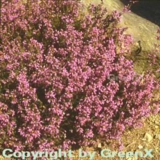 10x Grauheide Pallas - Erica cinerea - Vorschau