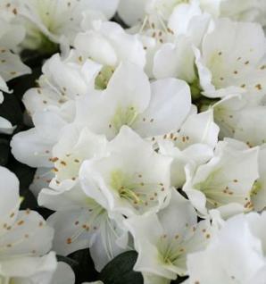 Japanische Azalee Diamant Weiß 15-20cm - Rhododendron obtusum - Zwerg Alpenrose - Vorschau