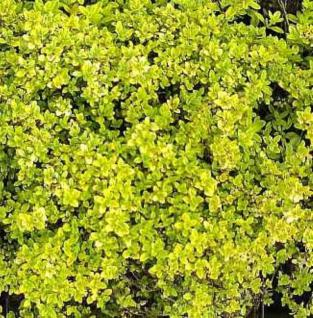 Zitronenthymian Bertram Anderson - Thymus citriodorus - Vorschau