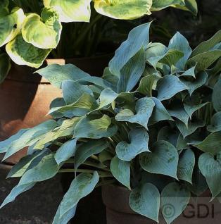 Grünblattfunkie Blue Angel - Hosta sieboldiana - Vorschau
