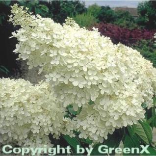 Rispenhortensie Grandiflora 60-80cm - Hydrangea paniculata - Vorschau