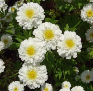 Winteraster White Bouquet - Chrysanthemum hortorum - Vorschau