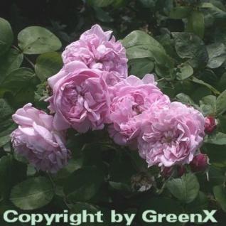 Historische Rose Fantin Latour 30-60cm - Vorschau
