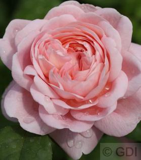 Englische Rose Queen of Schweden® 30-60cm - Vorschau