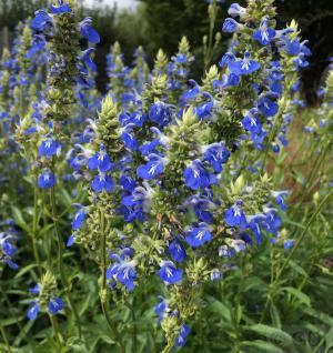 Pfeffer Salbei - Salvia uliginosa - Vorschau