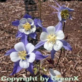 Akelei Blue Star - Aquilegia caerulea - Vorschau