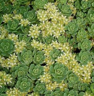 Rosetten Fetthenne - Sedum pachyclados - Vorschau
