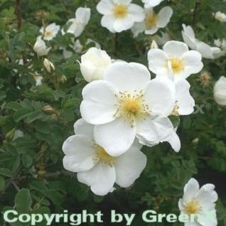 Pimpernell Rose 40-60cm - Rosa pimpinellifolia - Vorschau