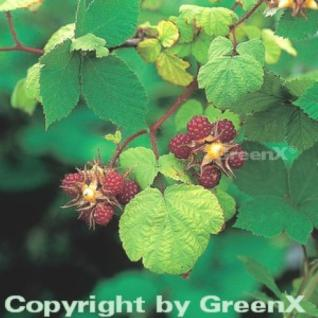 Japanische Weinbeere - Rubus phoenicolasius - Vorschau