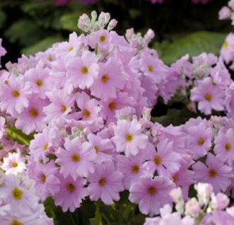 Etagenprimel Appleblossum - Primula japonica - Vorschau