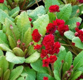 Stängellose Schlüsselblume Captain Blood - Primula vulgaris - Vorschau