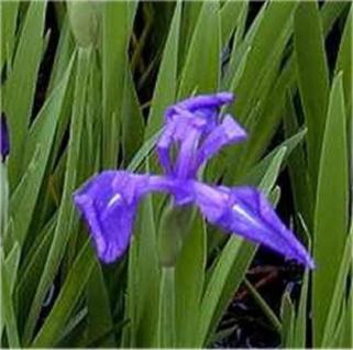 Asiatische Sumpf Schwertlilie - Iris laevigata - Vorschau