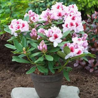 Großblumige Rhododendron Belami® 30-40cm - Alpenrose - Vorschau
