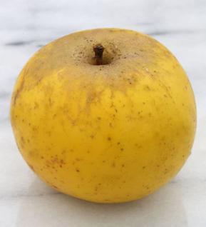 Apfelbaum Holsteiner Zitronenapfel 60-80cm - ein Herbstsapfel - Vorschau