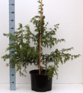 Gewürzwacholder entwickelt Beeren 100-125cm - Juniperus communis - Vorschau