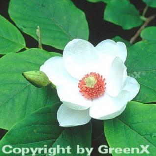 Sommer Magnolie 60-80cm - Magnolia sieboldii - Vorschau