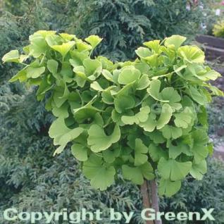 Kugel Fächerblattbaum 25-30cm - Ginkgo biloba - Vorschau