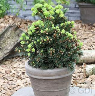 Zapfenfichte Lucky Strike 30-40cm - Picea pungens - Vorschau