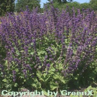 Quirlblütiger Salbei Purple Rain - Salvia verticillata - Vorschau