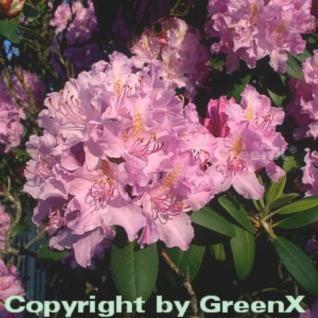 Großblumige Rhododendron Roseum Elegans 80-90cm - Alpenrose - Vorschau