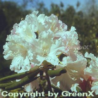 Großblumige Rhododendron Catawbiense Alba 30-40cm - Alpenrose - Vorschau