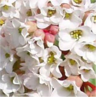 Bergenie Bressingham White - Bergenia cordifolia - Vorschau