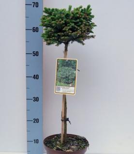 Hochstamm Stechfichte Silberzwerg 40-60cm - Picea sitchensis - Vorschau