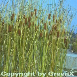 Zwerg Rohrkolben - Typha minima - Vorschau