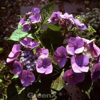 Bauernhortensie Mariesii Perfecta 40-60cm - Hydrangea macrophylla - Vorschau
