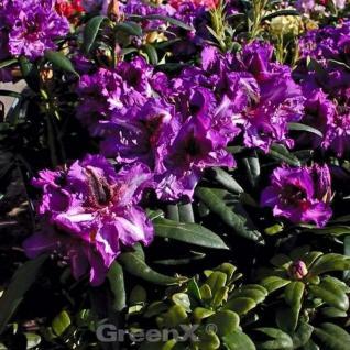 Großblumige Rhododendron Anatevka 40-50cm - Alpenrose - Vorschau