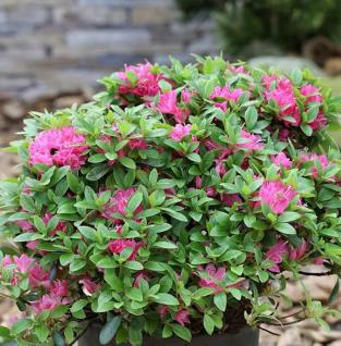 Japanische Azalee Diamant Rot 20-25cm - Rhododendron obtusum - Zwerg Alpenrose - Vorschau