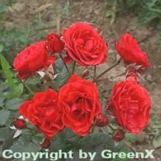Hochstamm Rose Kosmos® 60-80cm
