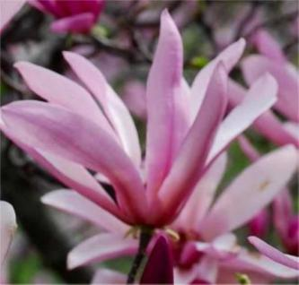 Kleine Sternmagnolie Georg Henry Kern 40-60cm - Magnolia stellata - Vorschau
