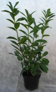 Zwerglorbeerkirsche Piri 20-25cm - Prunus laurocerasus - Vorschau